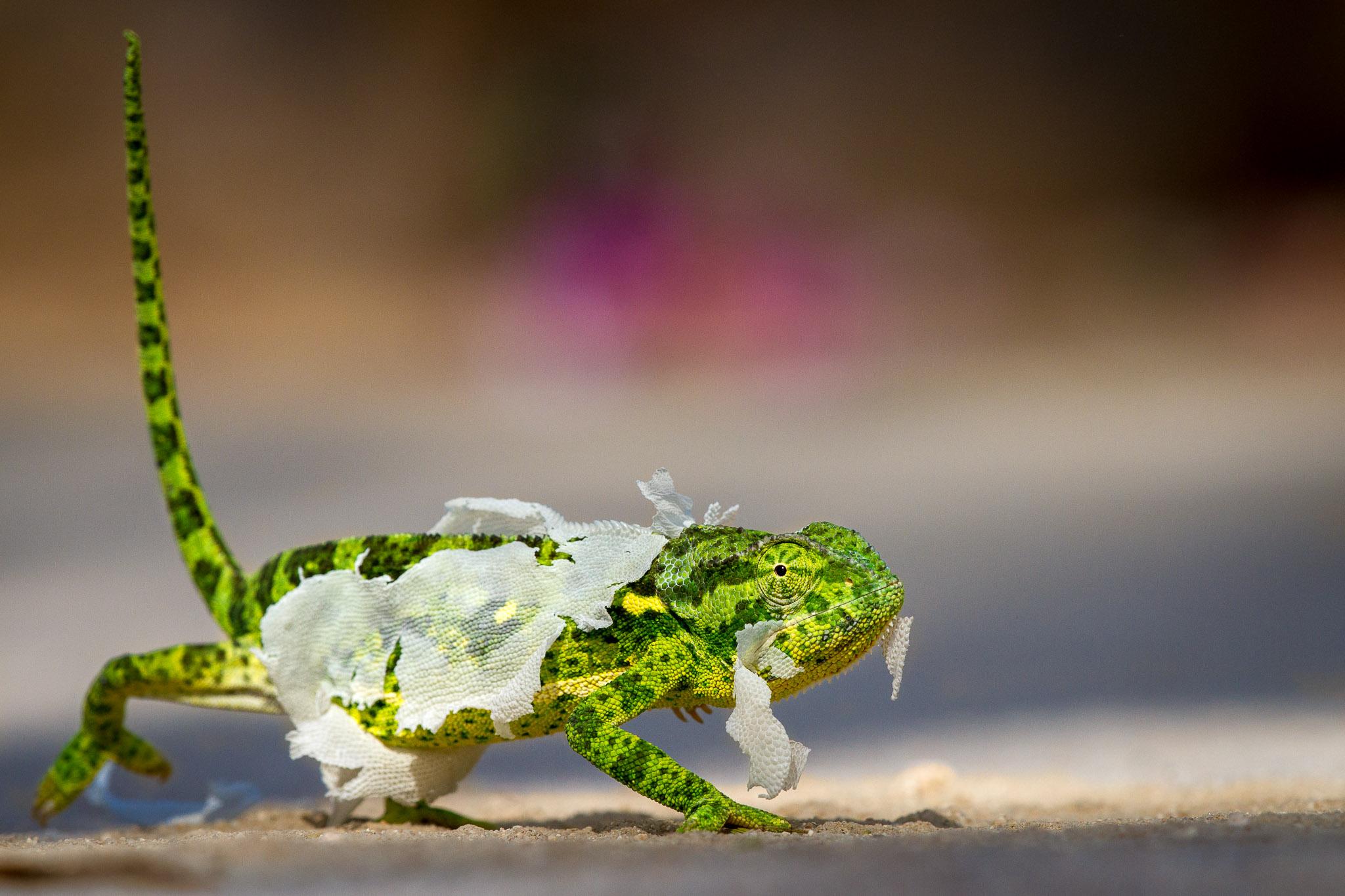 A chameleon shedding its skin