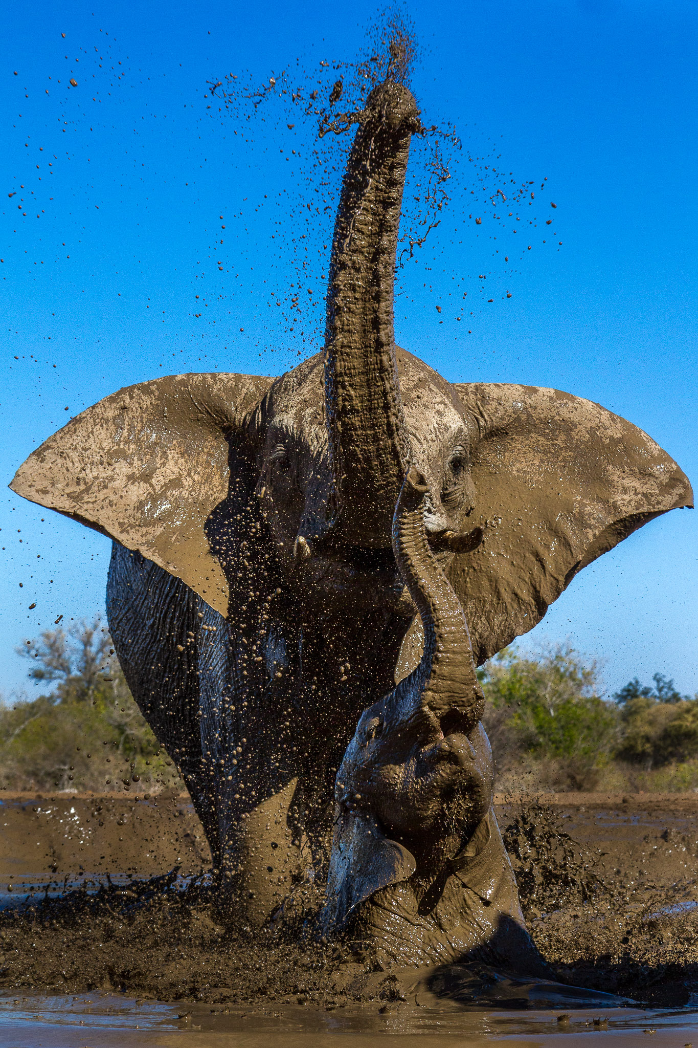 Elephant calf and mother splashing in mud