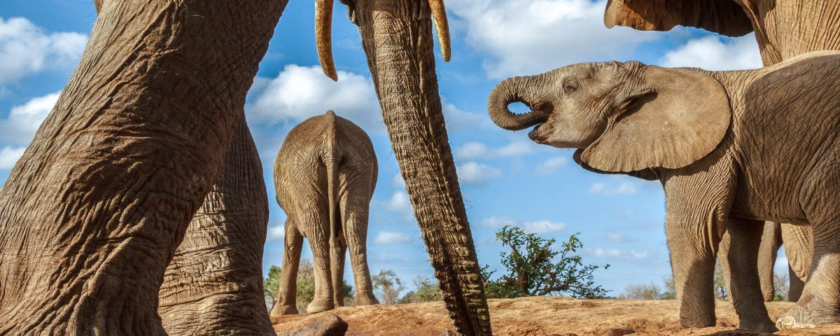 A low angle image of a herd of elephants