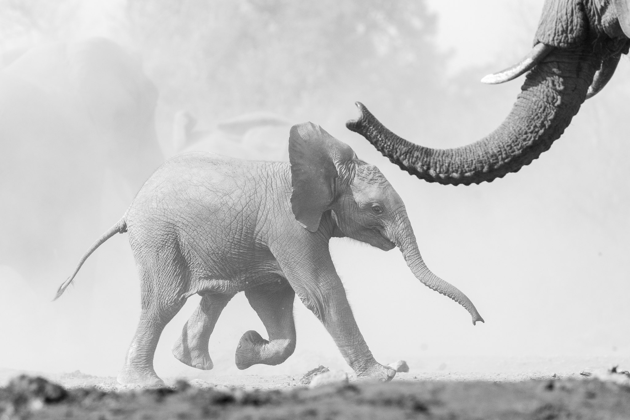 Elephant calf running in black and white