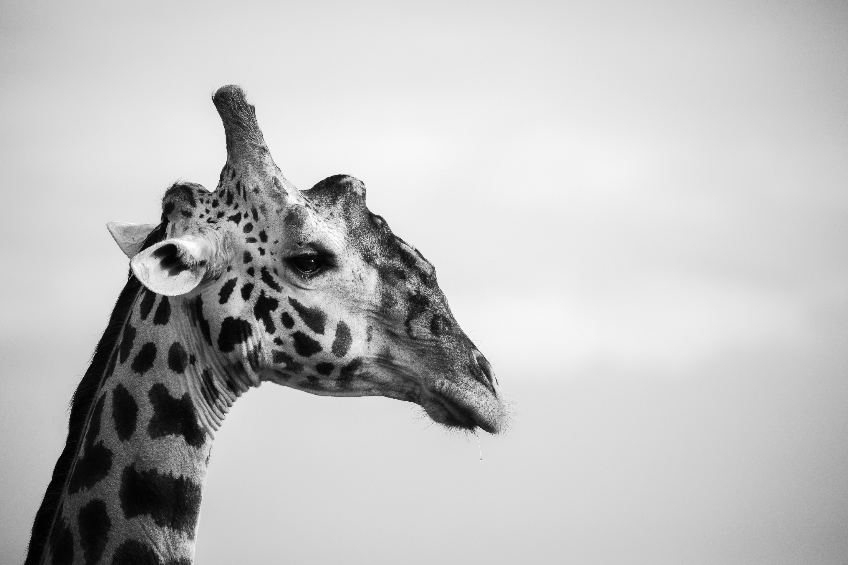 Portrait of an old male giraffe in black and white