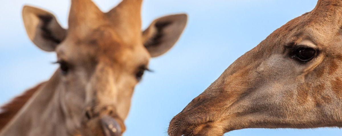 Portrait of two giraffes