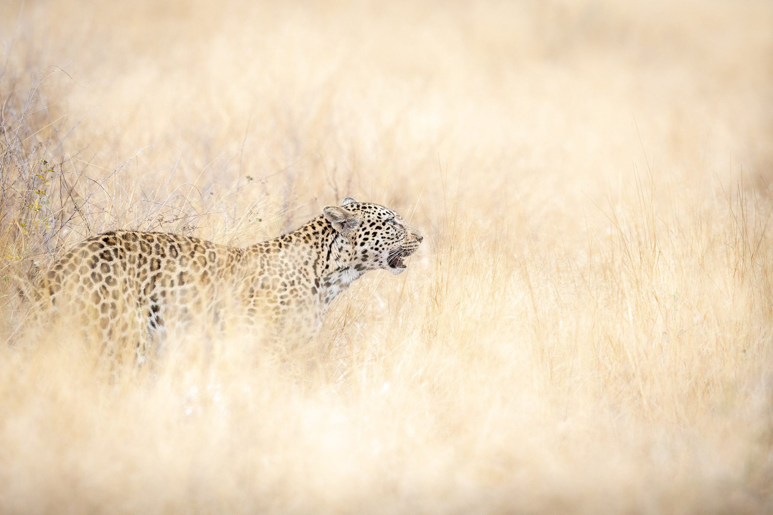 A leopard standing in long grass