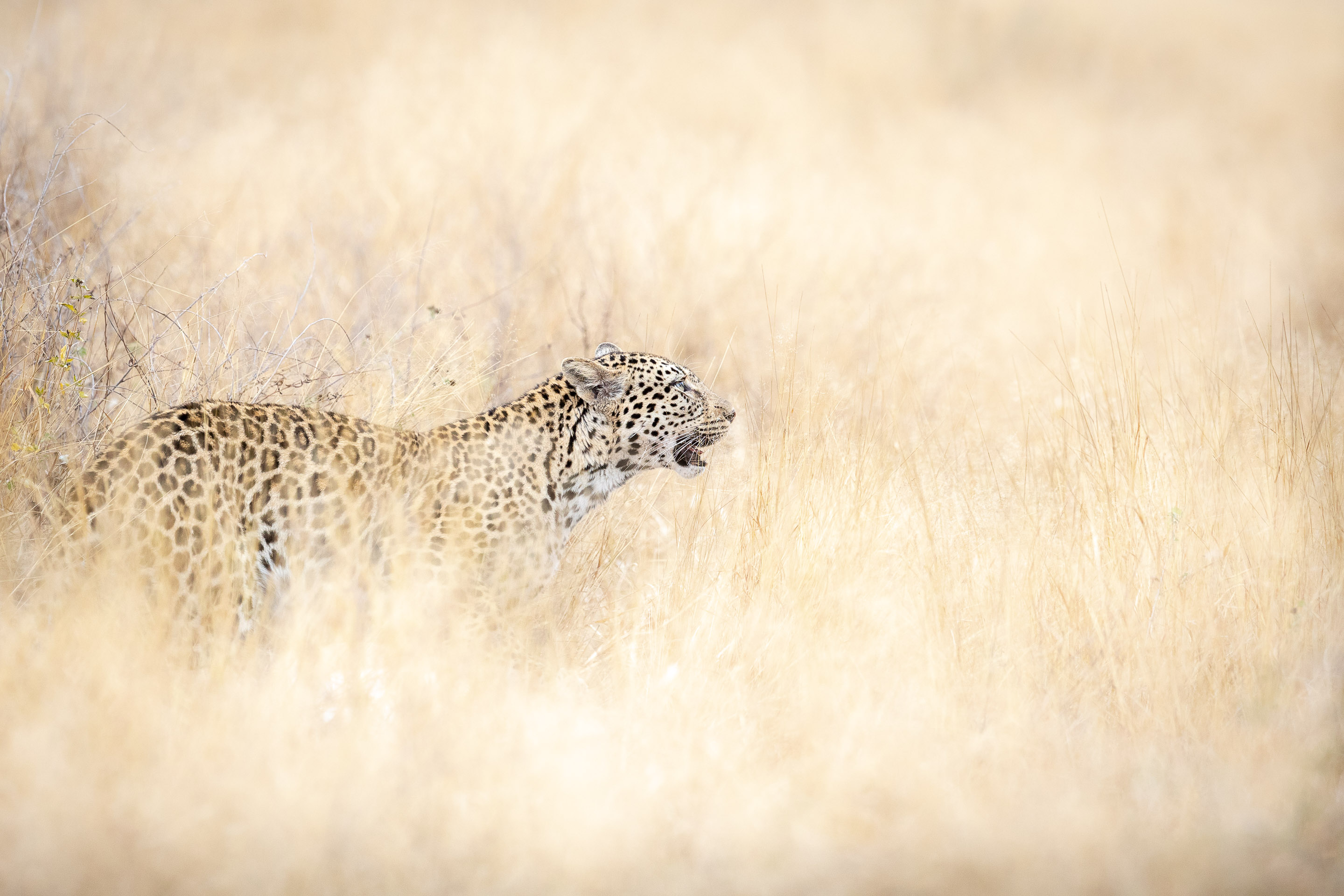 A leopard standing in long grass
