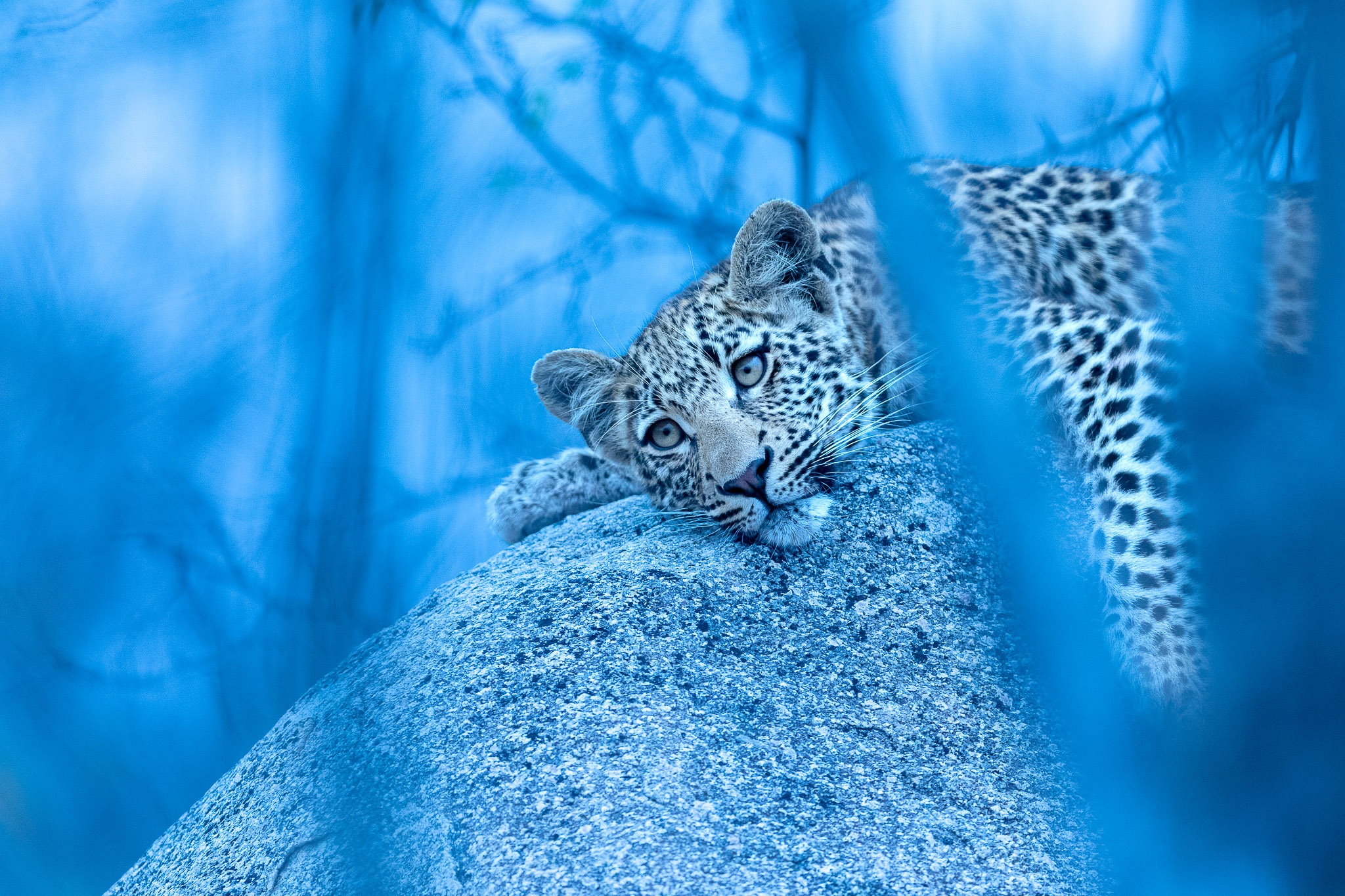 A leopard cub lying on a rock with a blue background