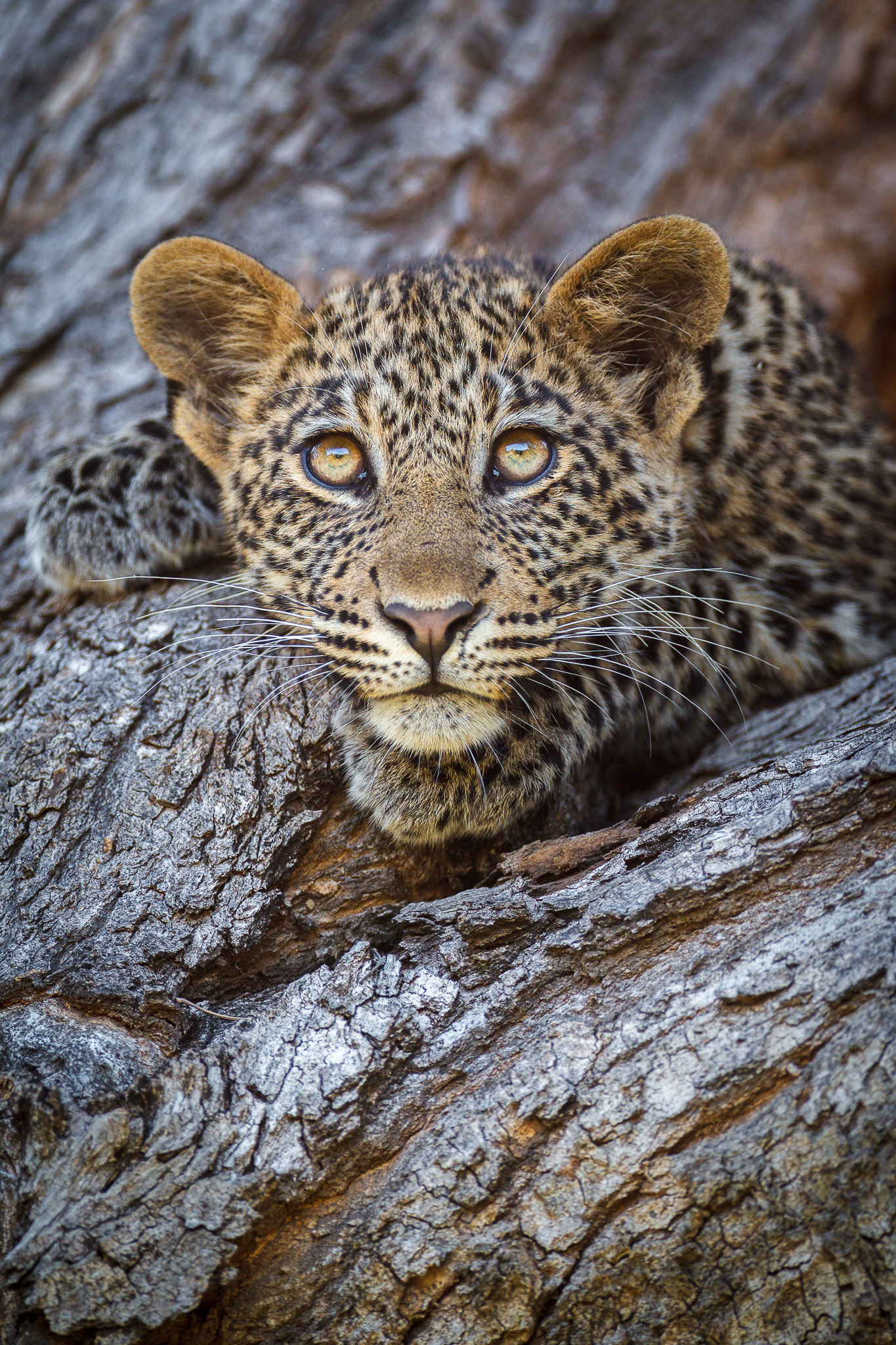 A leopard cub in a tree