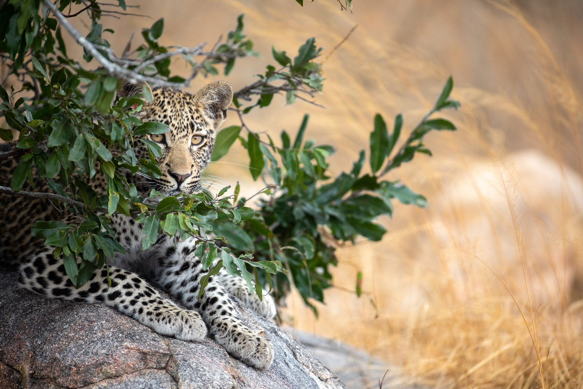 A leopard cub looking out from behind a bush