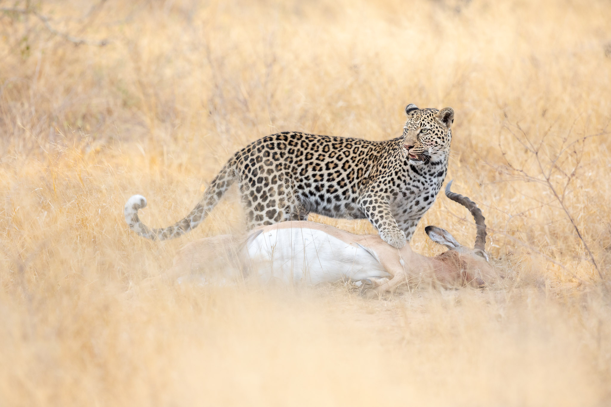 A leopard with an impala kill in long grass
