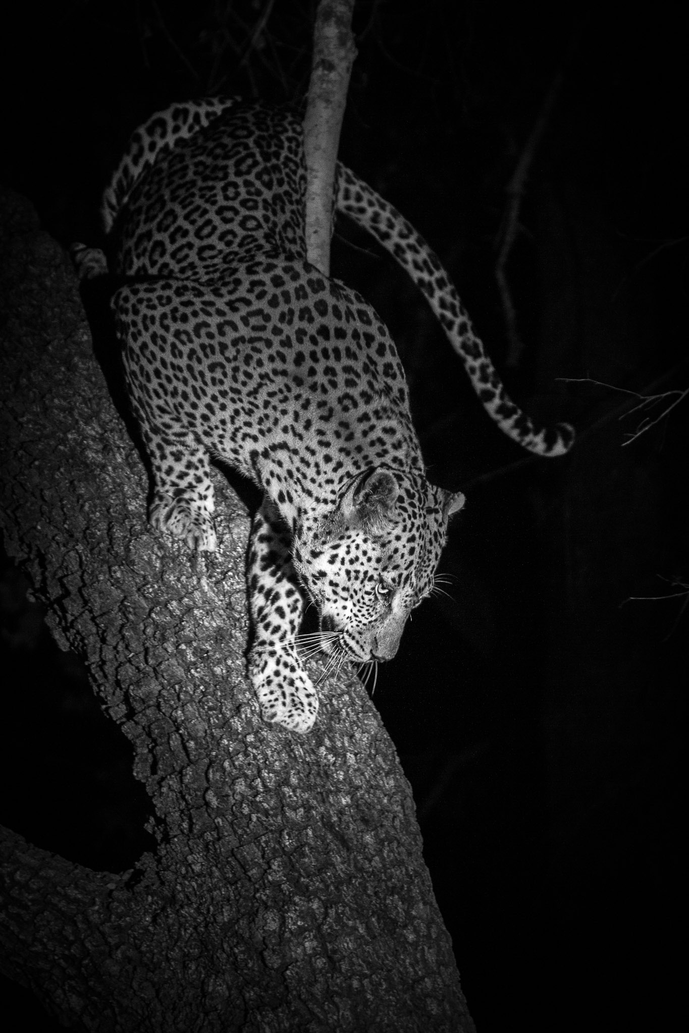 A leopard climbing down a tree at night