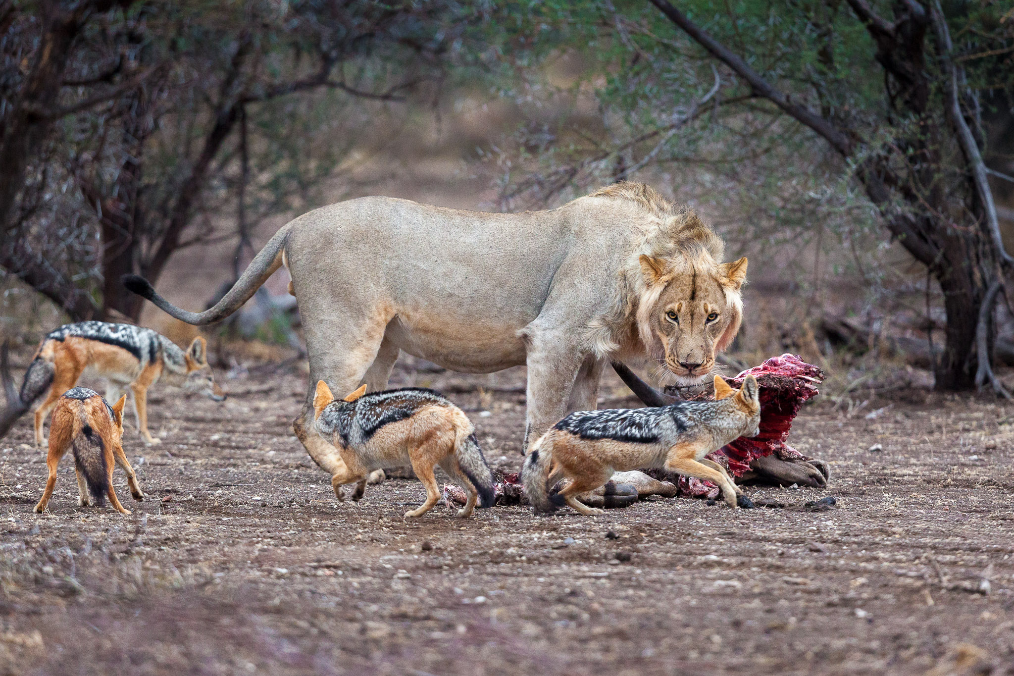 A lion with a kill watching hungry jackals
