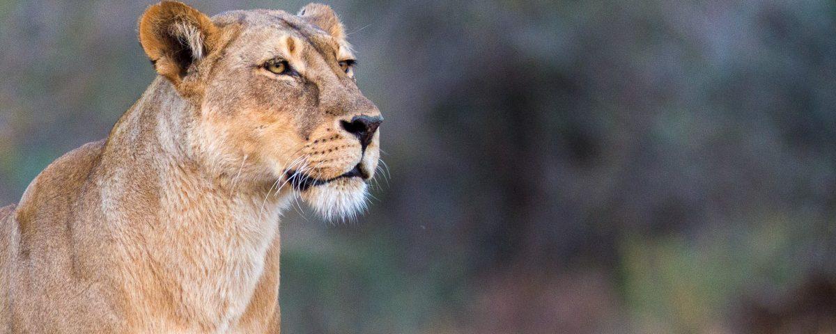 Portrait of a lioness in Botswana