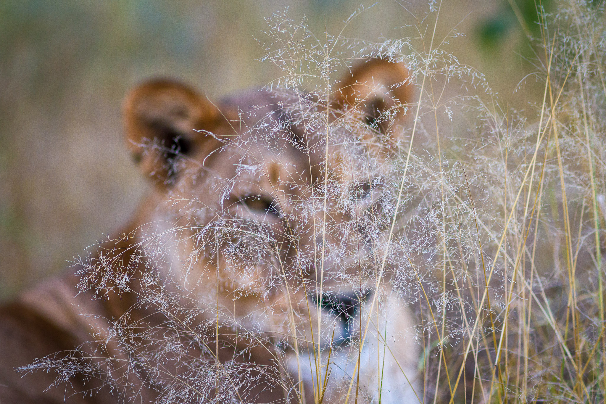 Lioness behind long grass