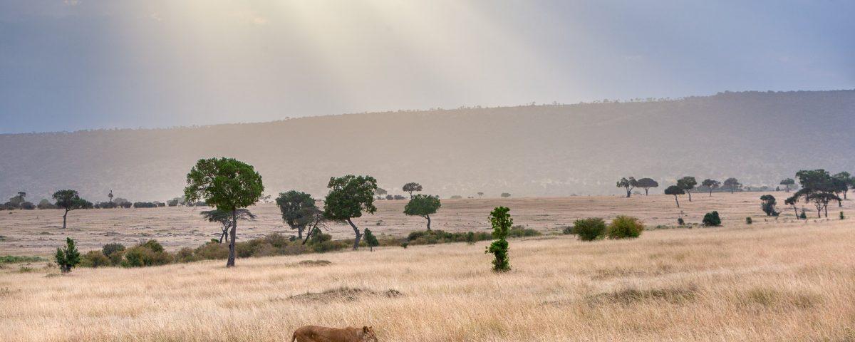 Lioness walking in the Masai Mara