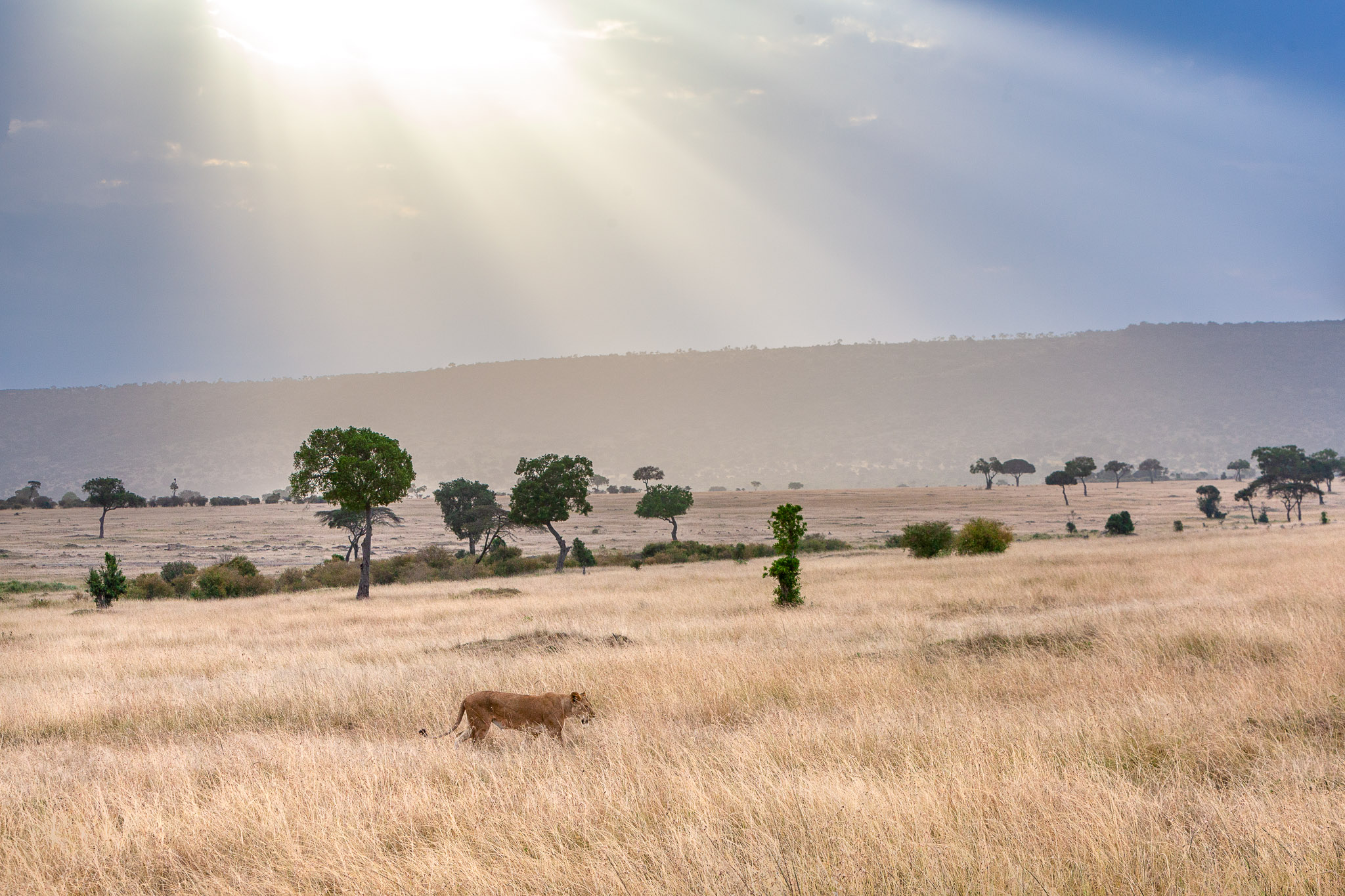 Lioness walking in the Masai Mara