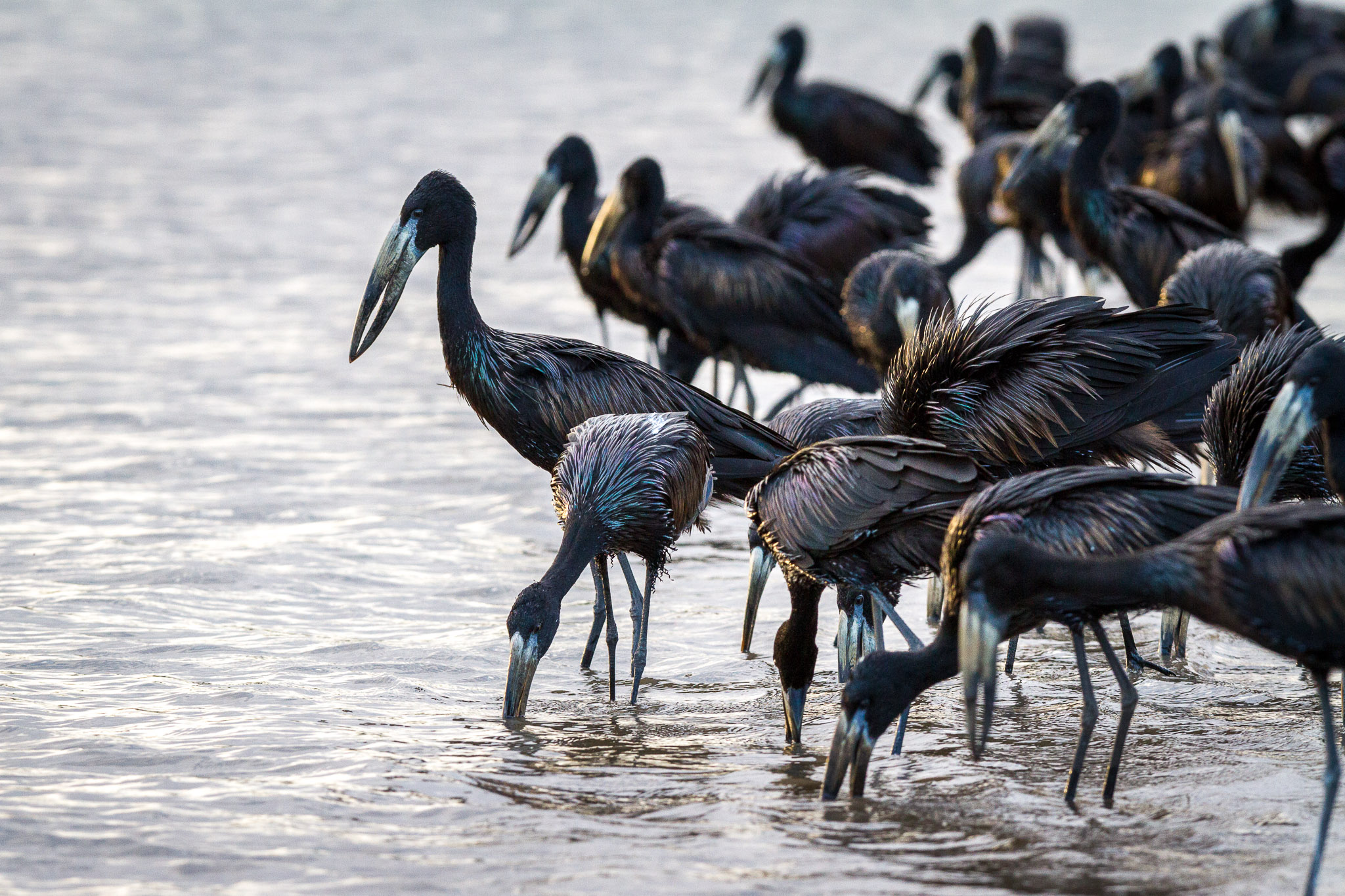 Openbill storks wading in water
