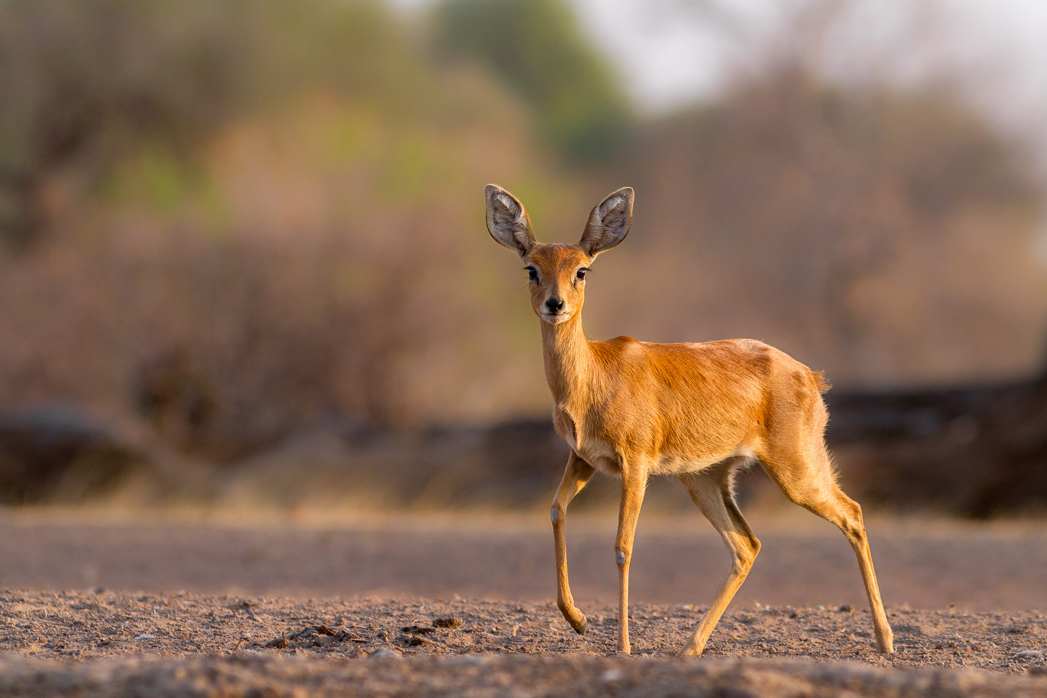 Steenbok looking at camera