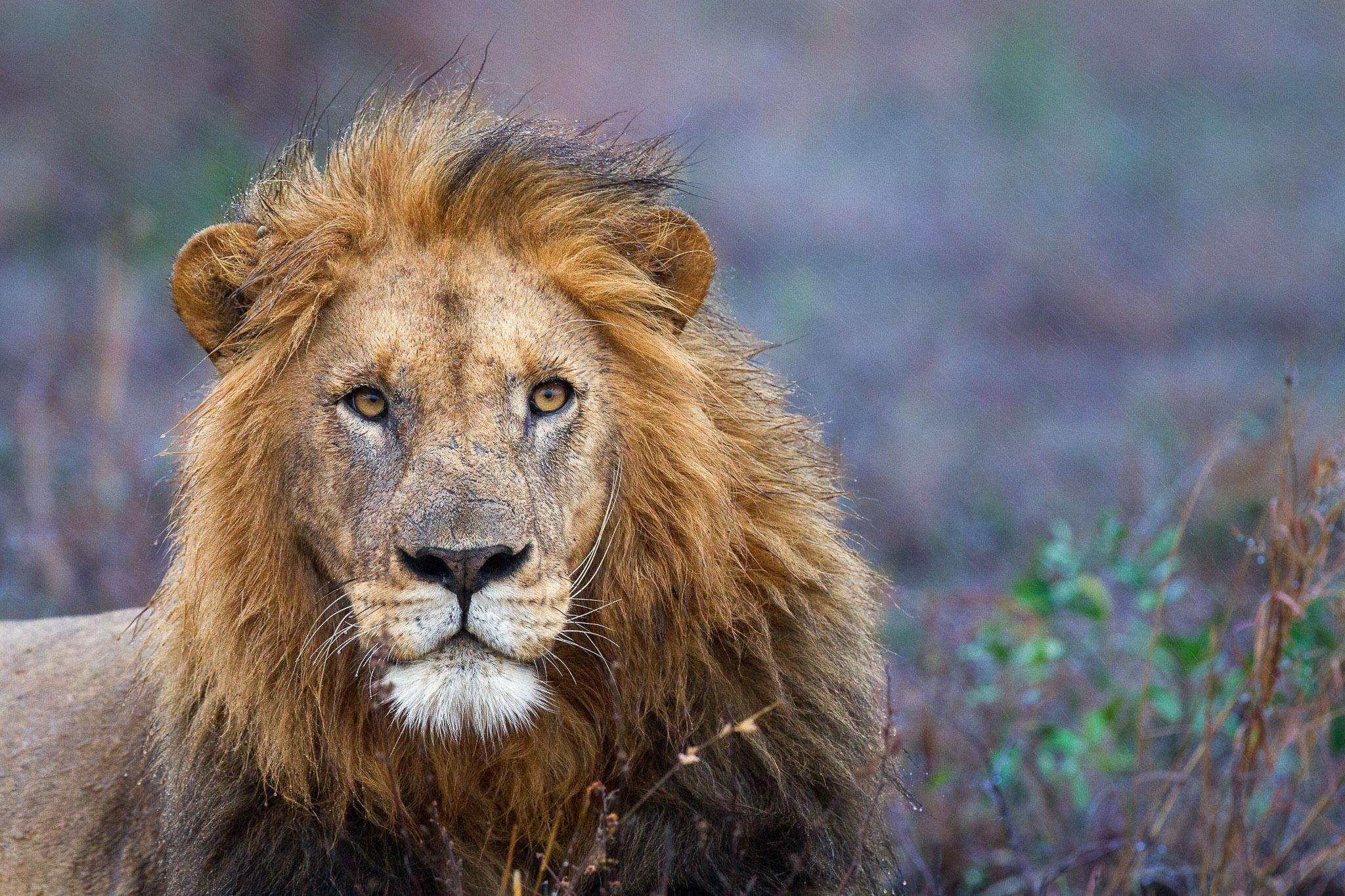 A male lion in the rain