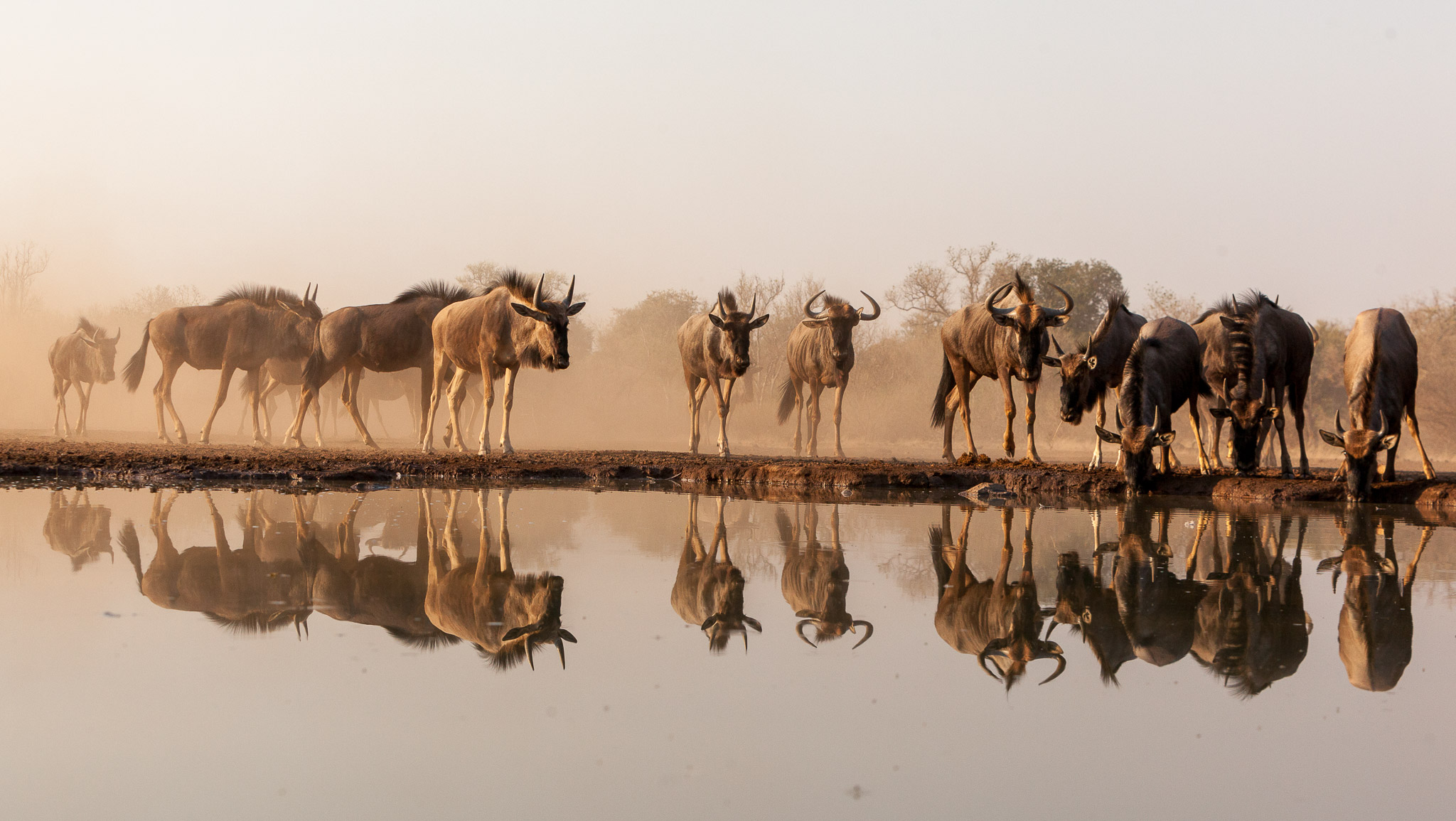 Reflection of a herd of wildebeest