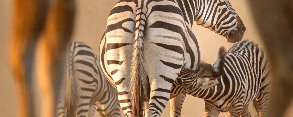 A zebra calf suckling and framed through kudu legs