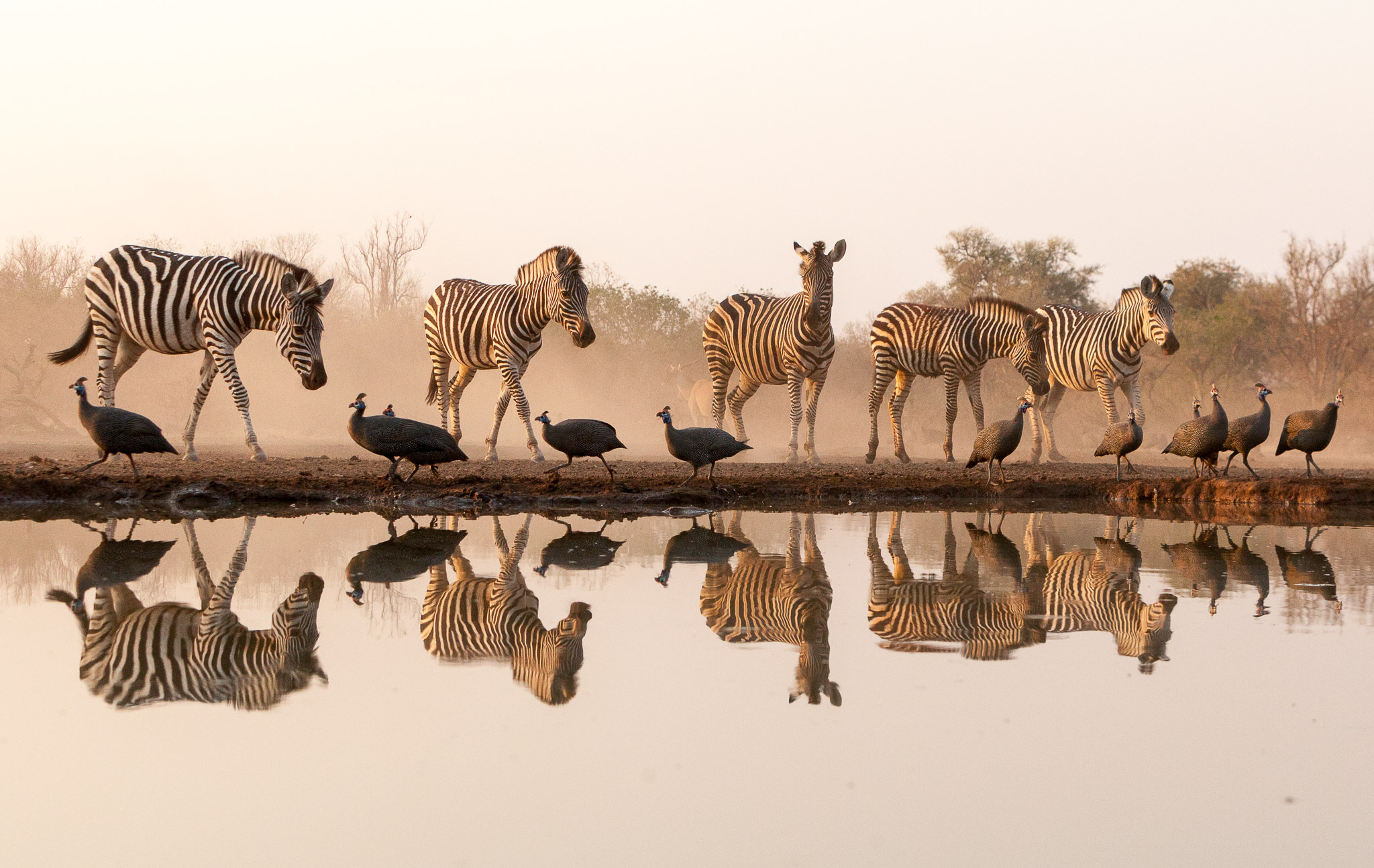 Reflection of a herd of zebra and guinea fowl