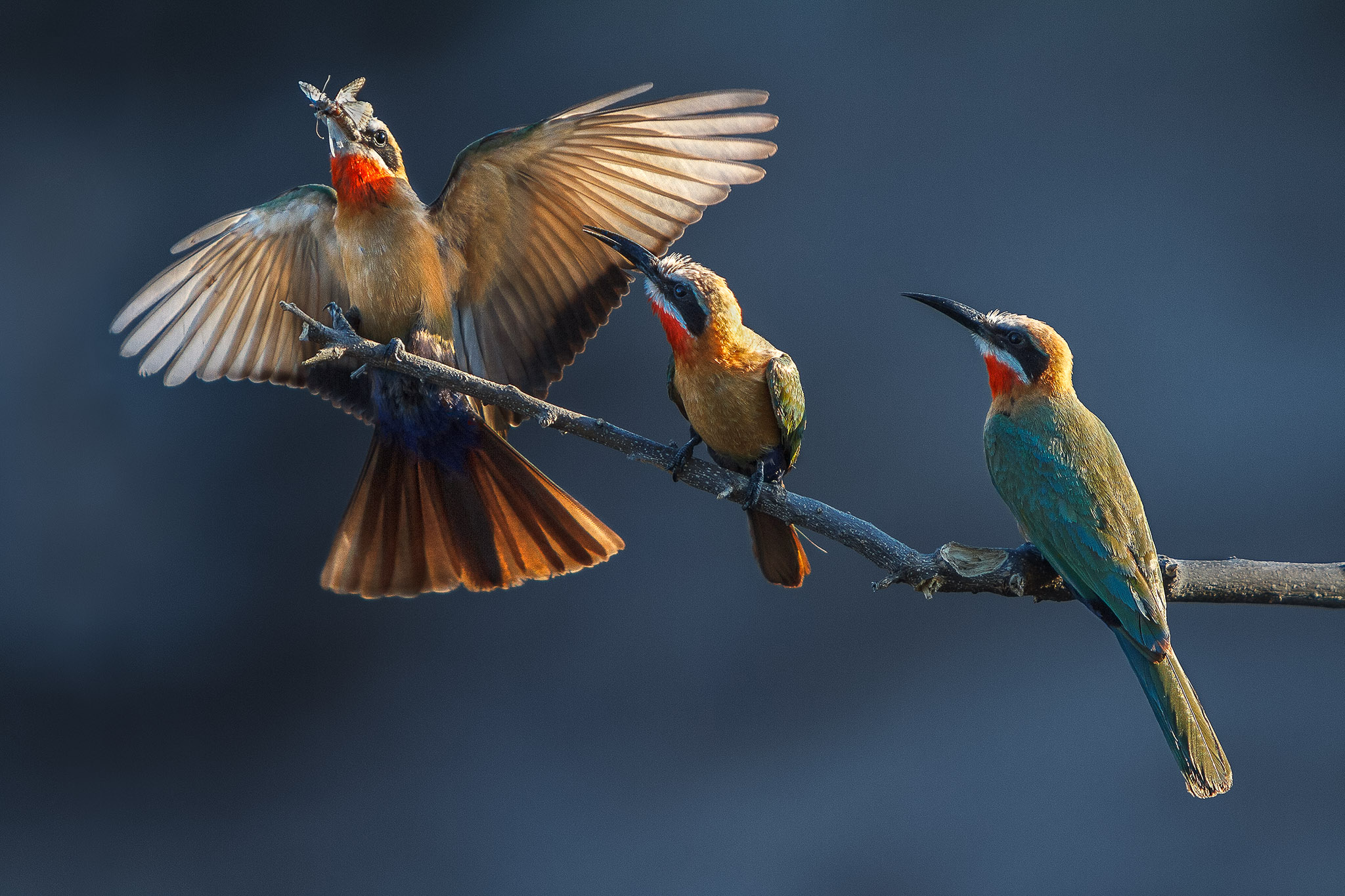A white fronted bee eater lands on a branch with two other birds
