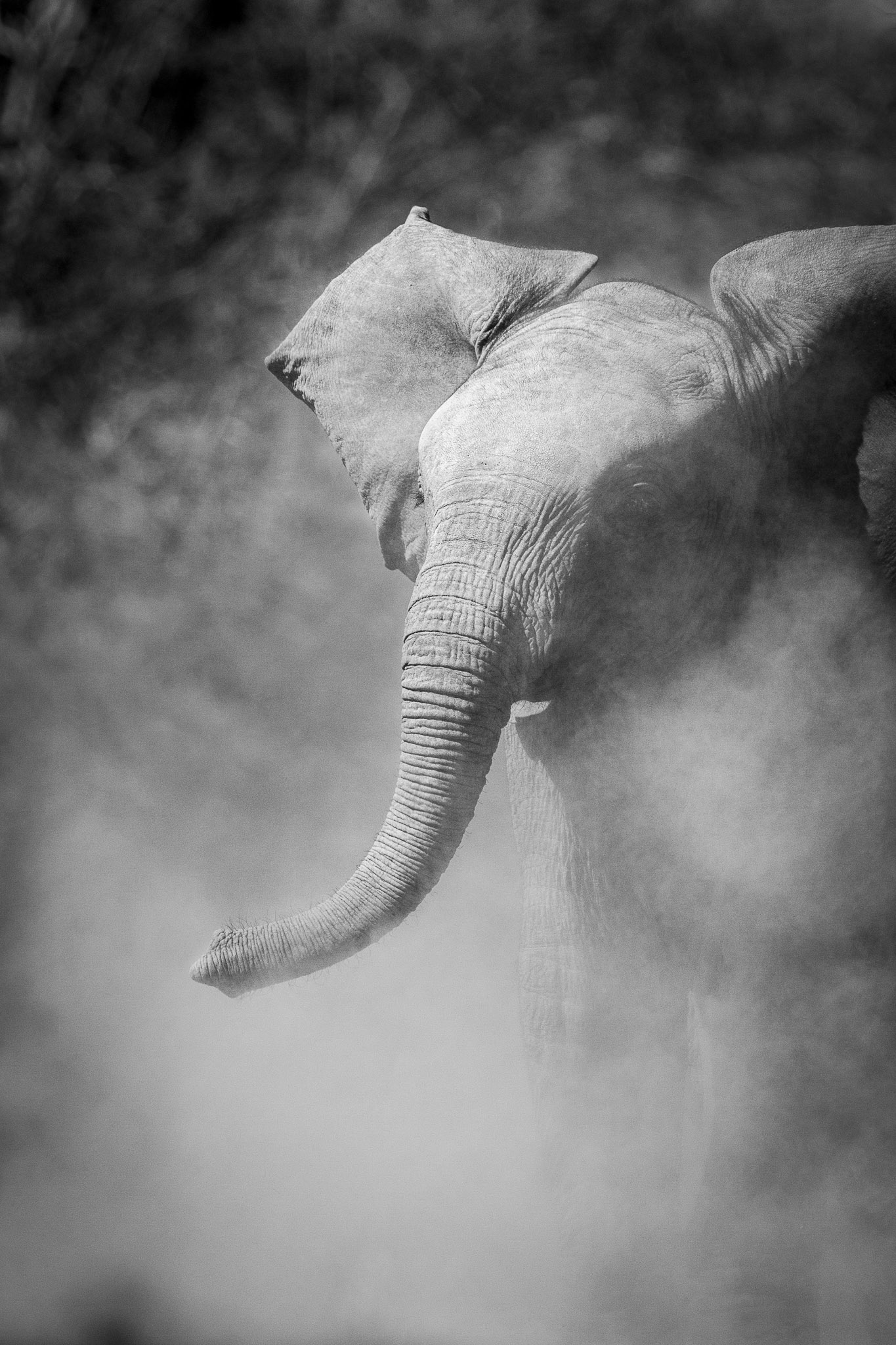 An elephant calf with lots of dust in black and white