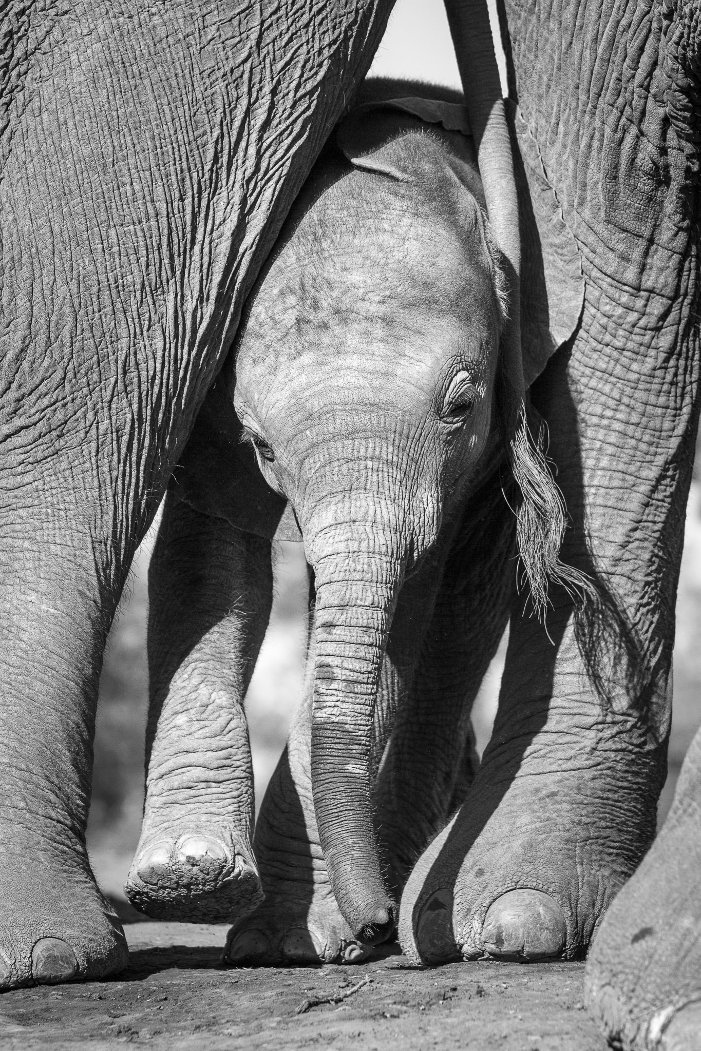 An elephant calf squeezes between the legs of two adults