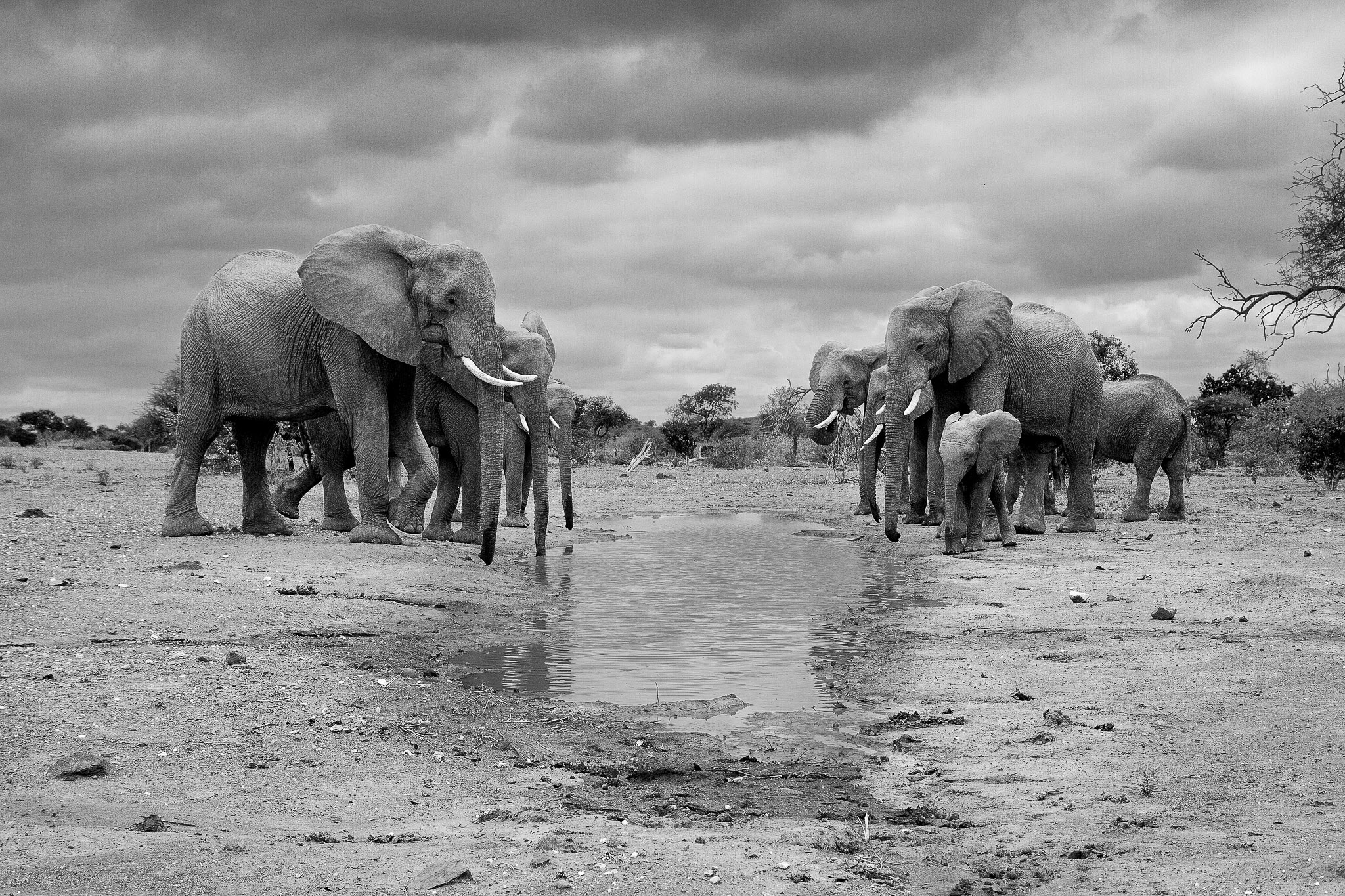 A herd of elephants drinking in black and white