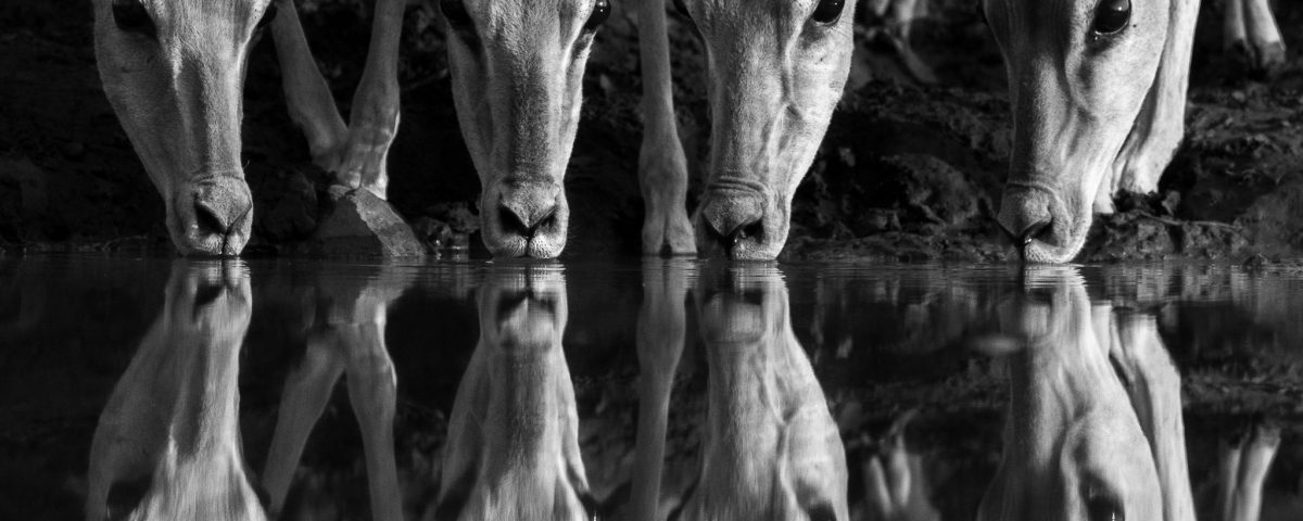 A herd of impala drinking with a reflection in black and white