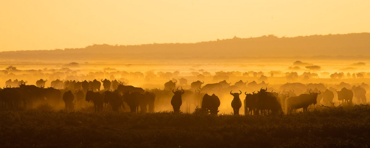 Wildebeest herd silhouette at sunset