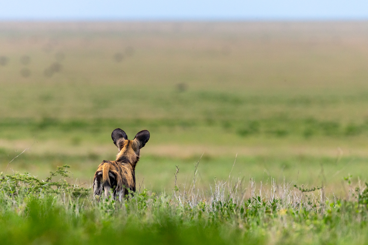 Wilddog in the Serengeti