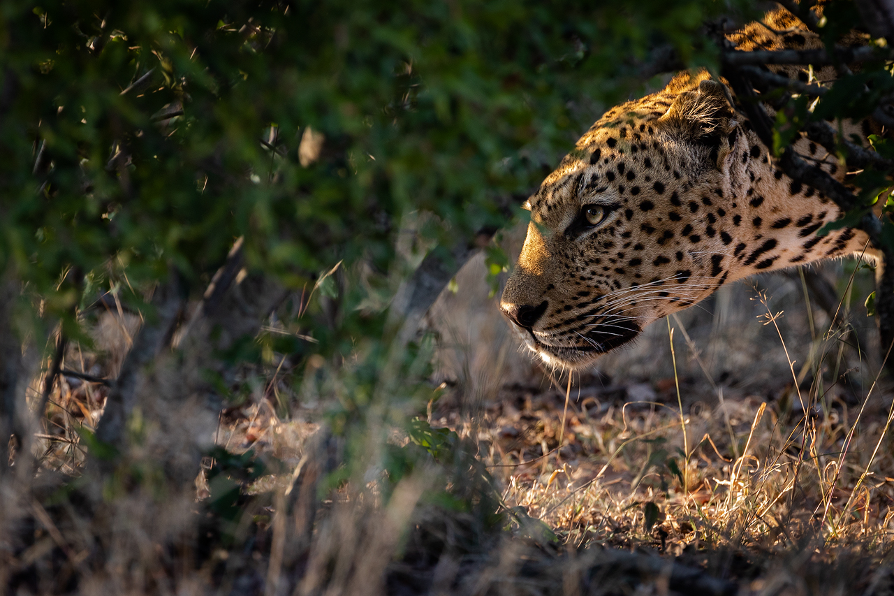 A leopard stalking under a bush