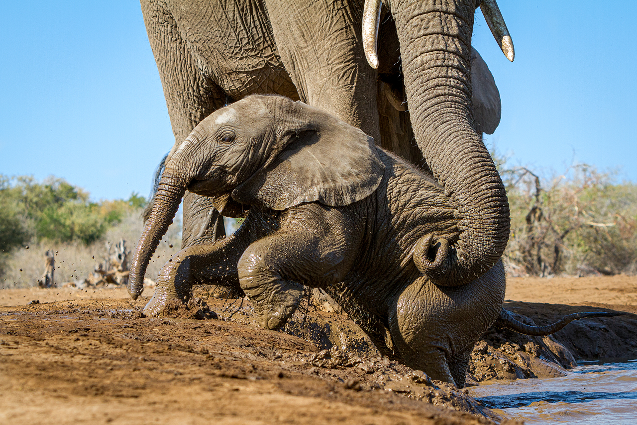 Mother elephant helps her calf out of the water with her trunk