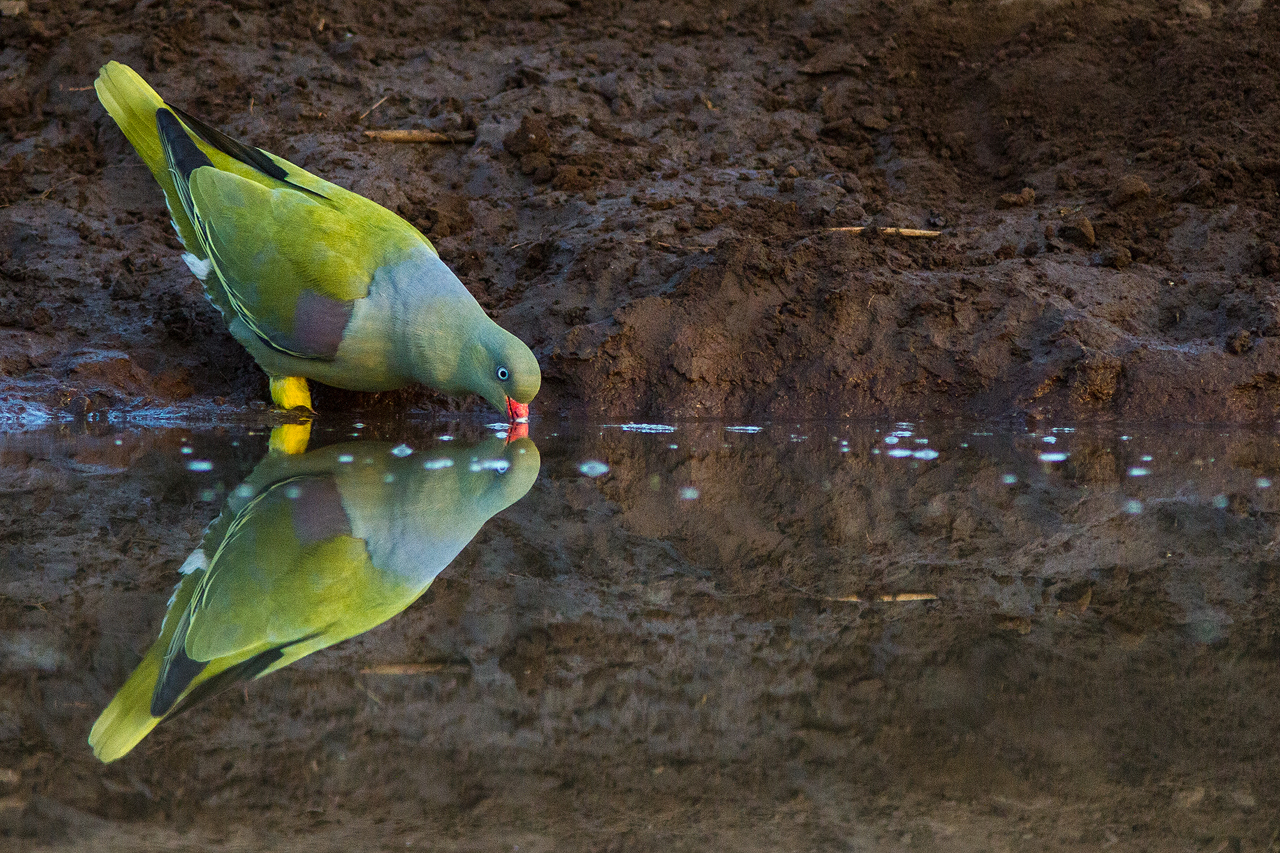 A green pigeon drinking reflected on the water