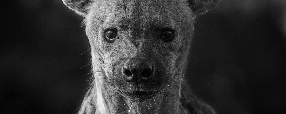 Black and white hyena portrait