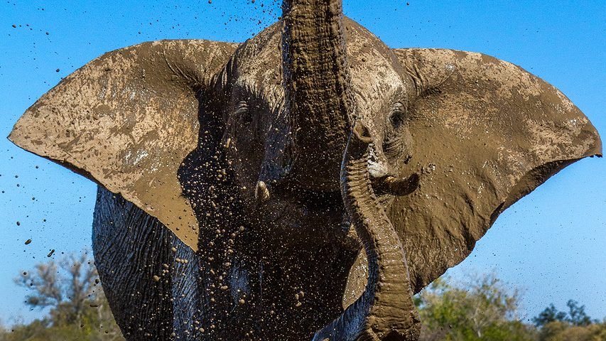 Two elephants wallow in the mud