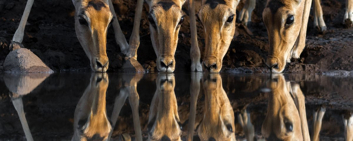 4 impala drinking reflected on water surface