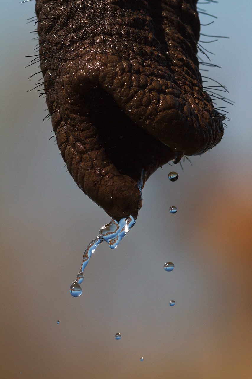 Water dribbles from an elephant trunk