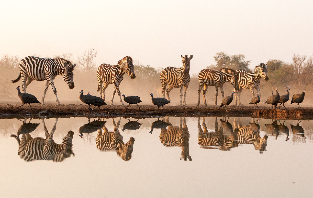 Herd of zebra reflected on water surface