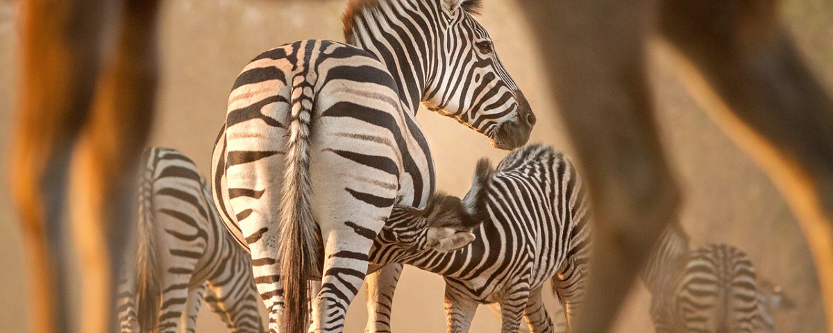 A zebra foal suckles from mother