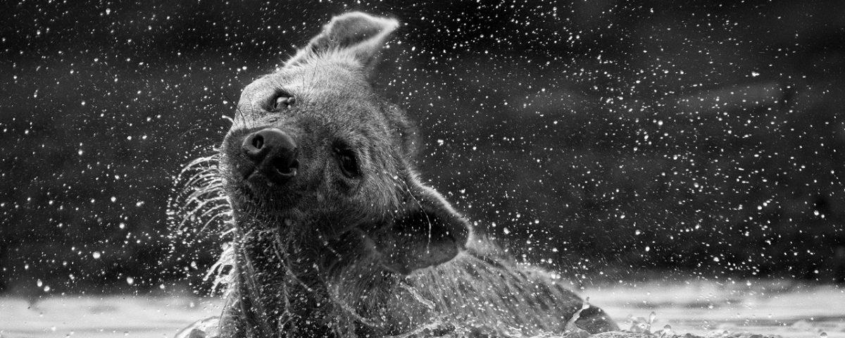 Hyena in water shakes head, water flies