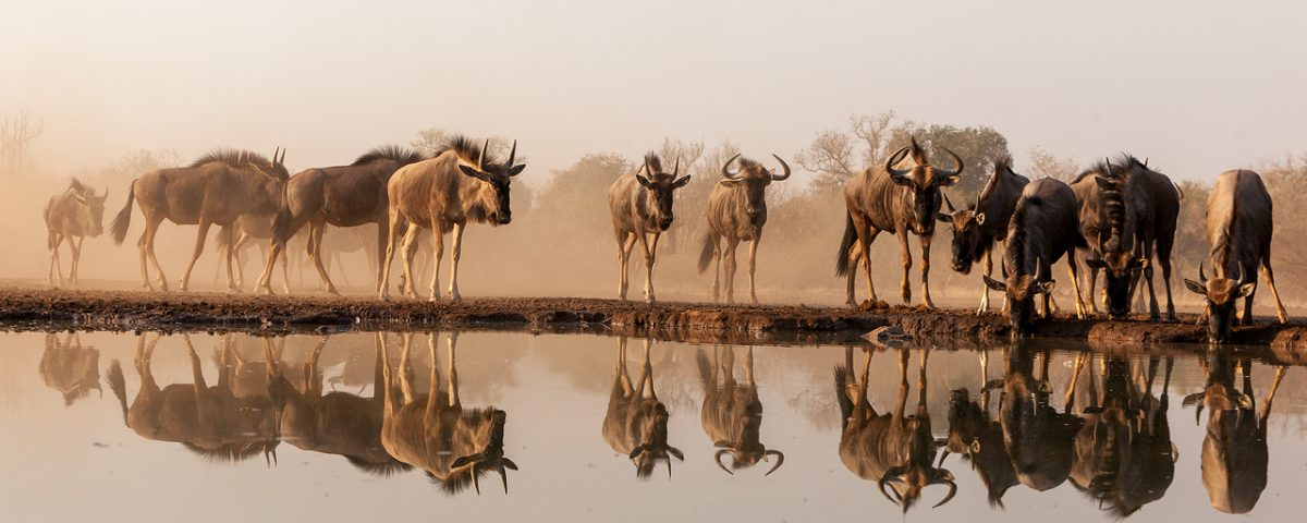 Herd of wildebeest reflected on water surface