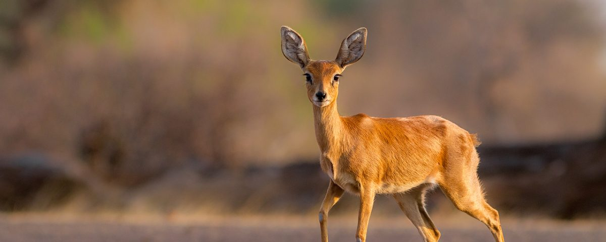 Small steenbok antelope looking at camera