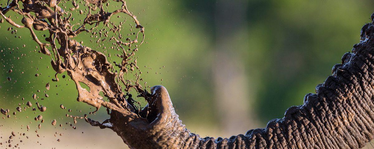 Elephant trunk sprays mud
