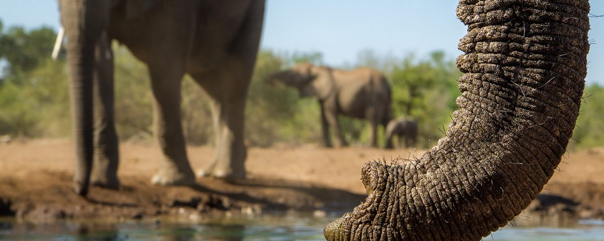 Elephants at waterhole with close up trunk