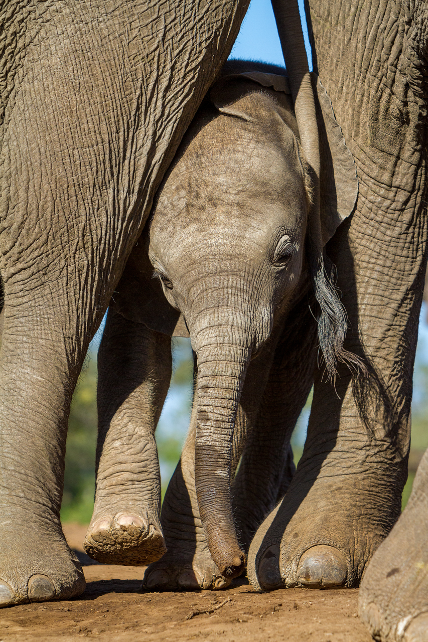 An elephant calf squeezes between adults