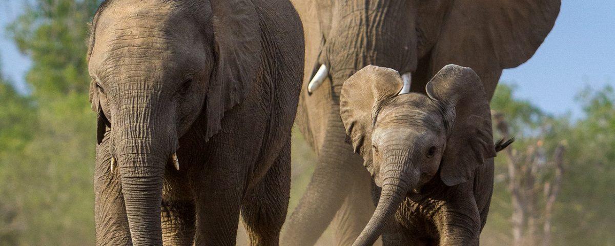 3 elephants run towards the camera