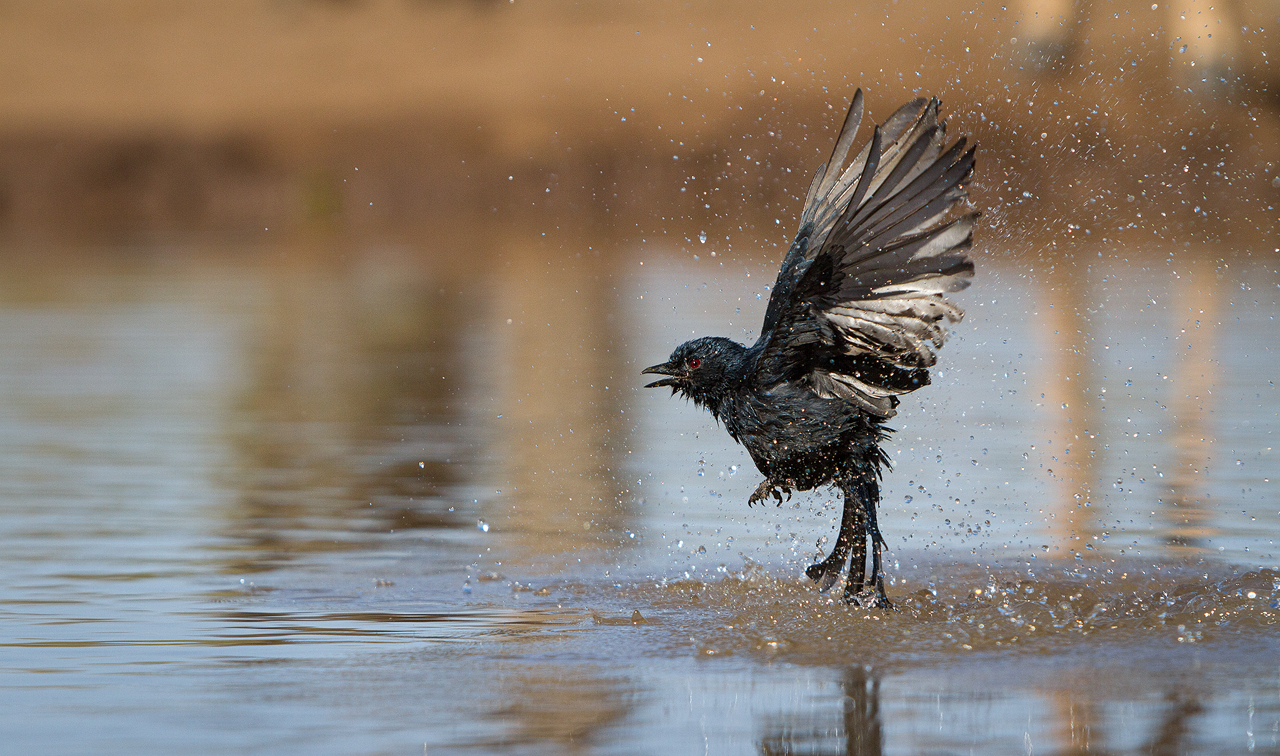Fork Tailed Drongo bird splashes in water