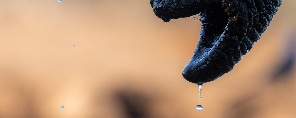 A waterdrop falls from an elephant's trunk