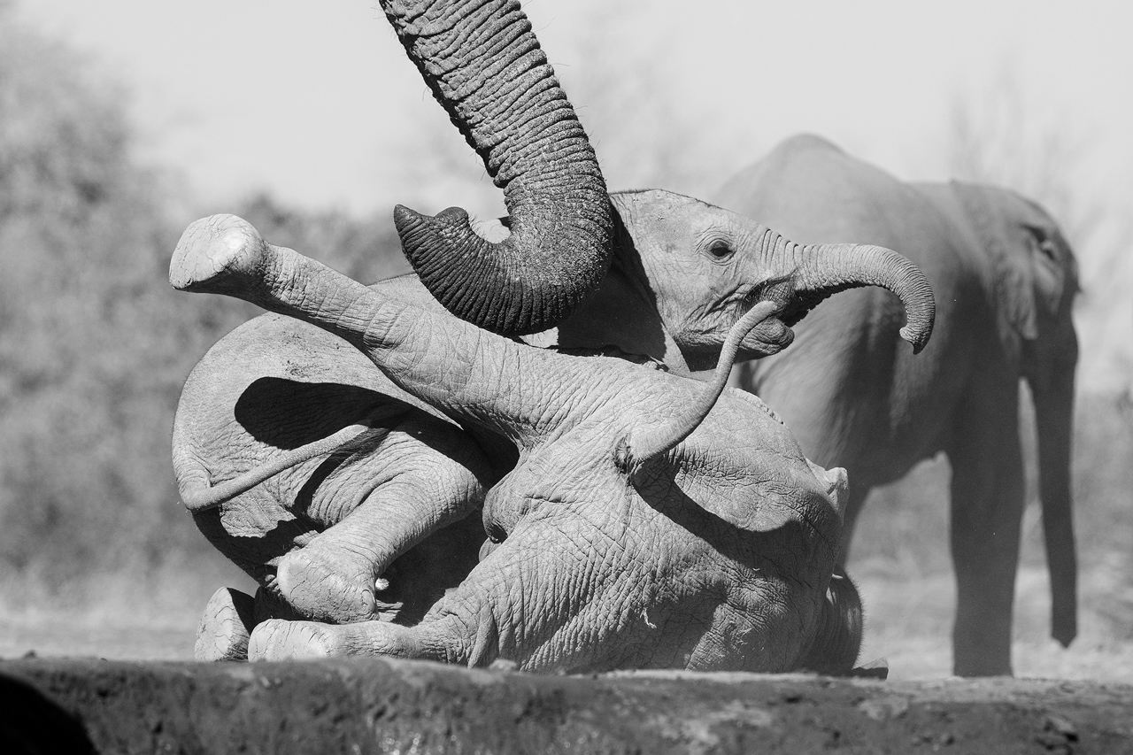 Black and white, baby elephants play